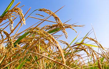 大米质量鉴定方法